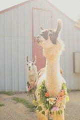 casamento_animais_estimacao_lhamas_01