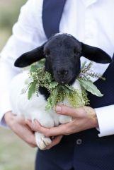 casamento_animais_estimacao_ovelha_carneiro_01